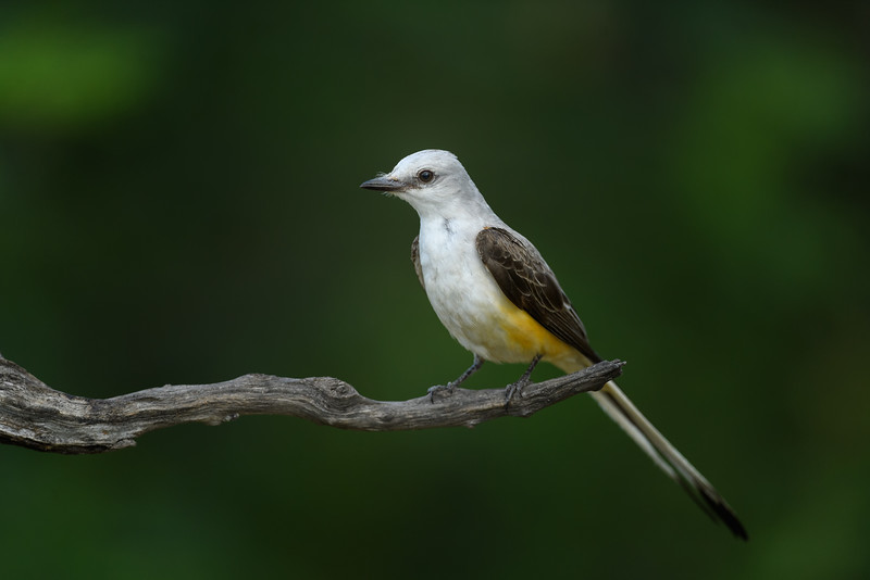 Juvenile Scissor-tailed Flycatcher, South Texas