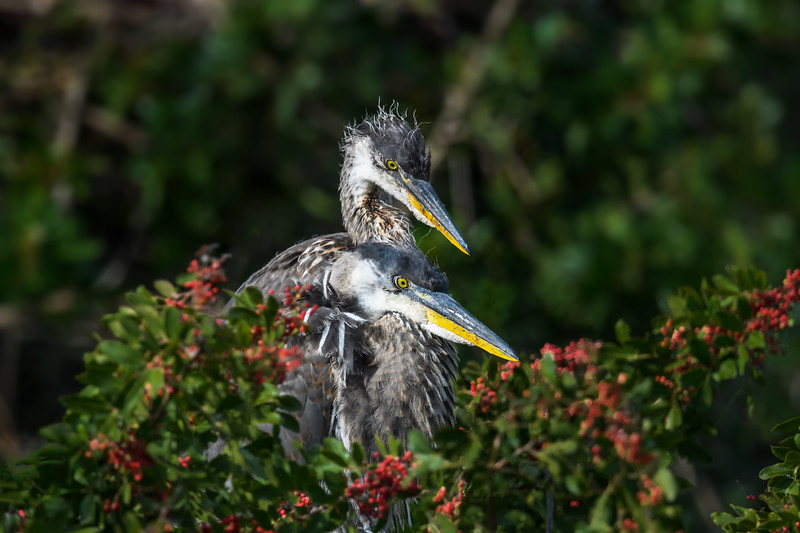 Six week old Great Blue Heron chicks, Venice Rookery, Venice, Florida