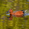 A male Cinnamon teal from the West coast of the United States is a rare sight at Merritt Island National Wildlife Refuge, Titusville, Florida