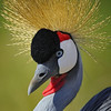 East African Grey Crowned Crane, Kenya, East Africa