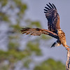 An endangered Juvenile Snail kite taking flight at Babcock Wildlife Management Area near Punta Gorda, Florida
