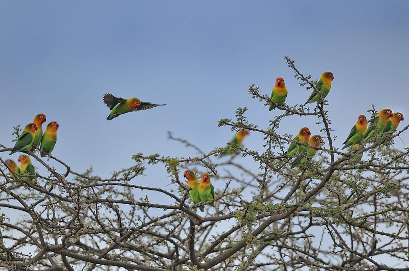 Love Birds in Acacia Tree, Tanzania, East Africa
