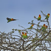 Love Birds in Acacia Tree, Tanzania, East Africa