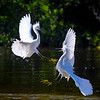 "Two Snowy egrets (Egretta thula) fighting at J. N. ""Ding"" Darling National Wildlife Refuge, Sanibel Island, Gulf of Mexico"
