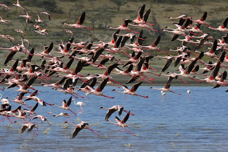 Flamingos Taking Off, Tanzania, East Africa