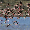 Flamingos Taking Off, Tanzania, East Africa