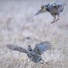 Two Male Greater Prairie Chickens fighting for dominance, Calamus Wildlife Management Area, Burwell, Nebraska