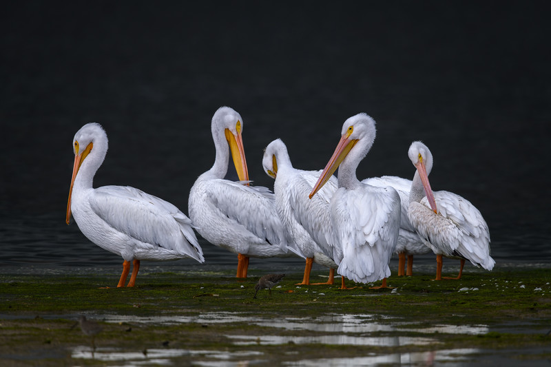 "American white pelicans (Pelecanus erythrorhynchos) at low tide at J. N. ""Ding"" Darling National Wildlife Refuge, Sanibel Island, Florida"