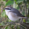 Grey-backed Fiscal, Kenya, East Africa