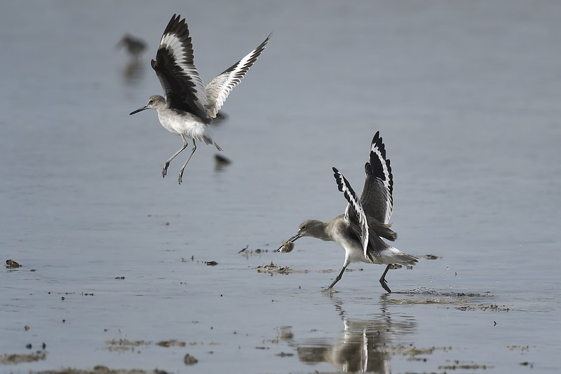 Willet (Tringa semipalmata) protecting its catch