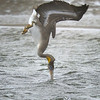 Brown Pelican Diving Into the Water in the Rain, Oregon
