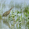 American Bittern in a marsh at Rocky Arrow Ranch near Valentine, Nebraska