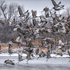 Sandhill Cranes taking off on a snowy morning on the Platte River near Gibbon, Nebraska