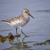 Western sandpiper on Salt Creek Beach near Port Angeles, Olympic Peninsula, Washington State