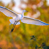 Great egret (Ardea alba) in flight at sunrise at Venice Rookery, Venice, Florida