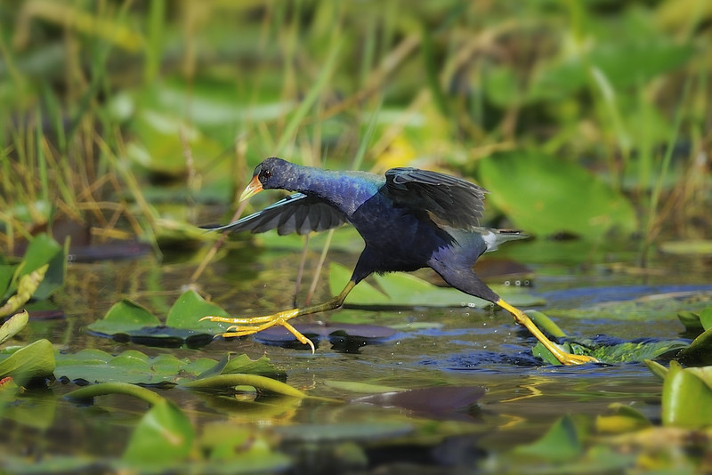 Purple Gallinule Tiptoeing Through the Lily Pads, Everglades