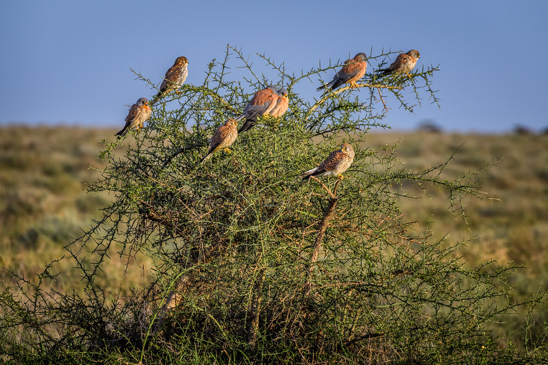 A flock of African pygmy falcons (Polihierax semitorquatus), Ndutu Conservation Area, Tanzania, East Africa