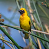 Weaver (Ploceidae) in the reeds near the hippo pond, Ngorongoro Crater, Tanzania, East Africa