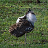 Male Kori bustard (Ardeotis kori) putting on his best mating display, Ngorongoro Crater, Tanzania, East Africa