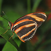 Orange Tiger Butterfly, Key West, Florida