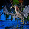 Green heron taking off from the water after catching a fish at Babcock Wildlife Management Area near Punta Gorda, Florida