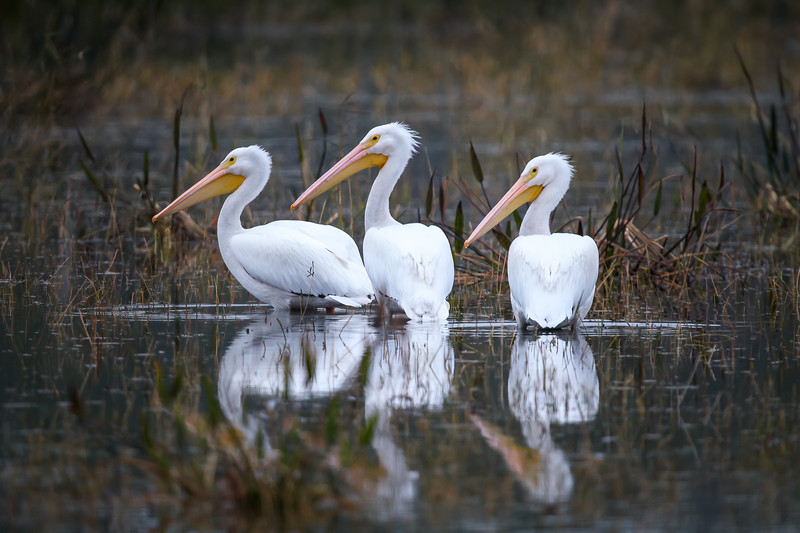 Three American white pelicans, a rare sight at Babcock Wildlife Management Area near Punta Gorda, Florida