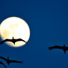 Sandhill Cranes and Moon Over the Platte River, Nebraska