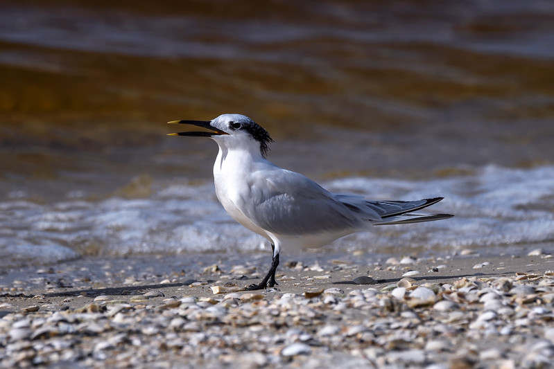 Sandwich tern (Thalasseus sandvicensis) on the beach on Sanibel Causeway, Sanibel Island, Florida