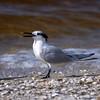 Sandwich tern (Thalasseus sandvicensis) on the beach on Sanibel Causeway, Sanibel Island, Florida