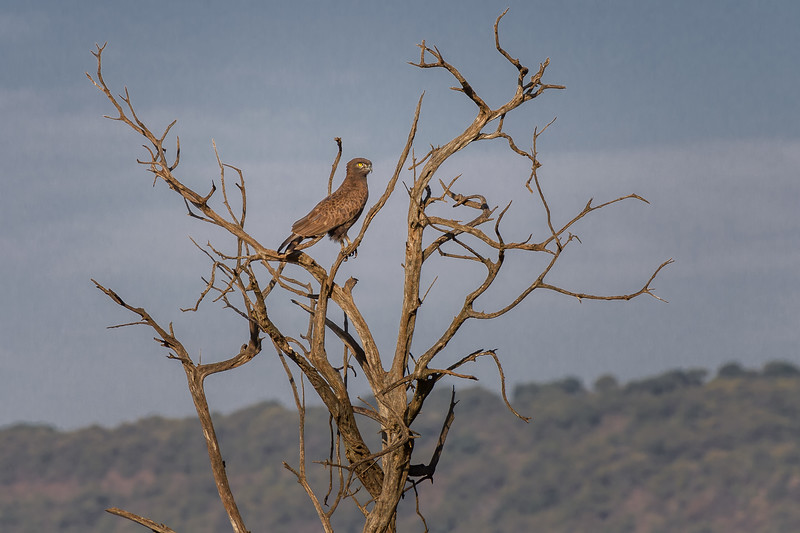 Brown snake eagle (Circaetus cinereus) at Masai Mara, Kenya, East Africa
