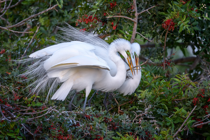 Great egret (Ardea alba) couple adding a stick to their nest, Venice Rookery, Venice, Florida