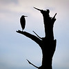 Silhouette of Tricolored heron (Egretta tricolor) on snag in Babcock Wildlife Management Area, Punta Gorda, Florida