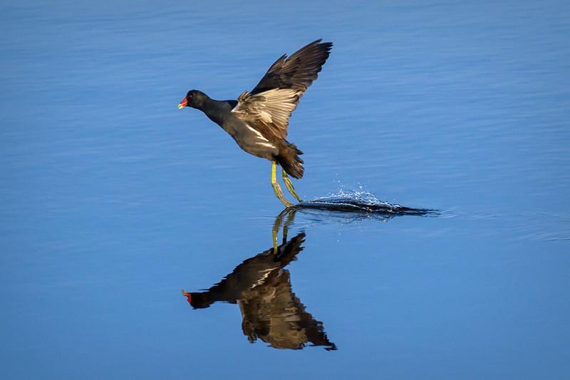 Moorhen taking flight in the marsh at Ten Thousand Islands National Wildlife Refuge, Naples, Florida