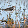Killdeer wading at Babcock Wildlife Management Area near Punta Gorda, Florida