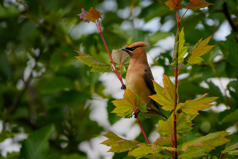Cedar Waxwing along the Snohomish River near Lowell, Washington