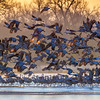 Sandhill Cranes taking flight at sunrise, Platte River near Kearney, Nebraska