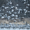 Sandhill Cranes (Grus canadensis) take flight in the early morning on the Platte River, Nebraska - slow shutter speed