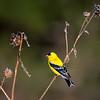 American Goldfinch perched in Fort Niobrara National Wildlife Refuge near Valentine, Nebraska.