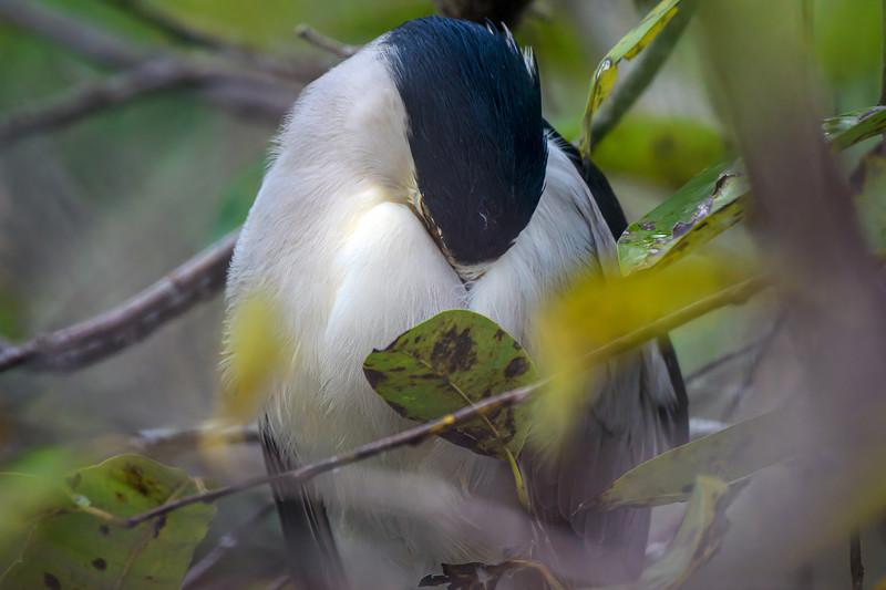 Black-crowned night heron sleeping at Green Cay Wetlands near Boynton Beach, Florida
