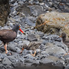 Black Oystercatcher (Haematopus bachmani) feeding her eight-day-old chicks, Cannon Beach, Oregon
