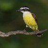 Kiskadee (Pitangus sulphuratus) near Rio Grande City, South Texas