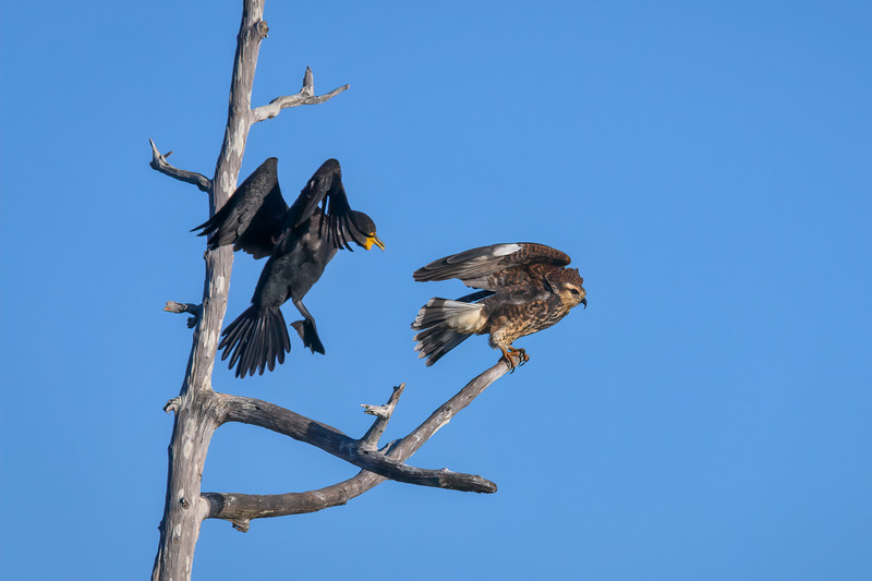 Cormorant chasing a Juvenile Snail Kite off perch on a snag at Babcock Wildlife Management Area near Punta Gorda, Florida