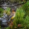 Cedar waxwing (Bombycilla cedrorum), Glacier National Park, Montana
