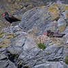 Black oystercatcher couple and nest on sea stack on Bandon Beach, Southern Oregon
