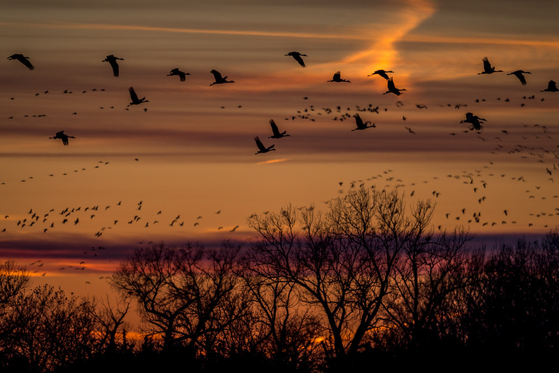 Sandhill Cranes over the Platte River, Nebraska
