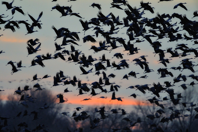 Sandhill Cranes Flying Off at Sunrise on the Platte River, Nebraska