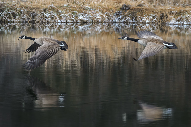 A pair of Canada geese (Branta canadensis) in flight over the Platte River in Nebraska