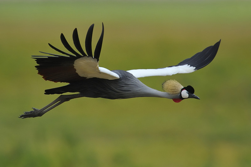 Grey Crowned Crane, Kenya, East Africa