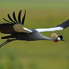 Grey Crowned Crane in flight, Kenya, East Africa