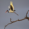 Saddle-billed stork takes flight at sunrise in Amboseli, Kenya